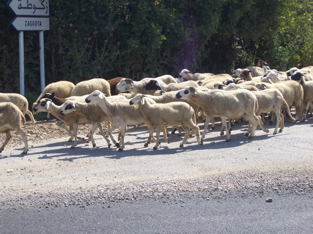 Some sheep along the road to the ruins of Volubilis