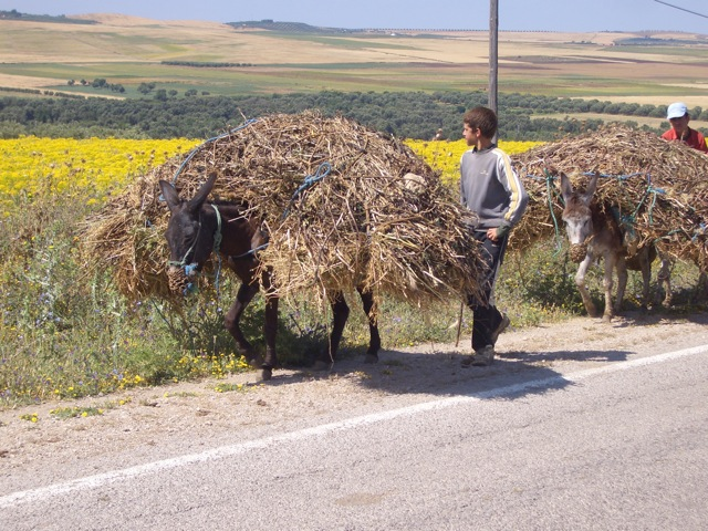 Donkeys do a lot of work in Morocco